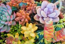 Succulents / by Macy Graves
