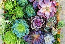 Plantae.