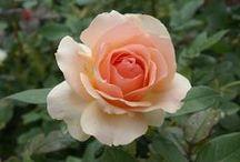 Roses / Stunning roses
