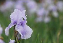 Irises / Pretty irises