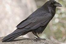 Corneilles - Corbeaux / oiseaux