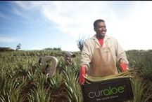 Aloe Vera Plantation Curacao, home of The Natural CurAloe products / The most pure Aloe Vera products available, fresh from the plant into our bottles