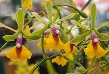 orchidées / la beauté des orchidées plante emblématique