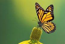 Motýli | Butterflies