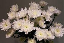 Chrysanthemum varieties - South Africa / Chrysanthemum varieties available in South-Africa