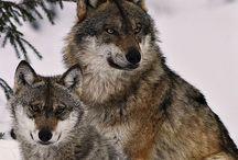 Wolf / De Wolf