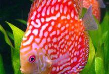 Vissen / Discusvissen
