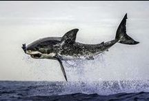 Awesome Great White Sharks