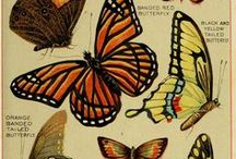 Butterflies / Entomology / entomology, lepidoptera, butterflies,