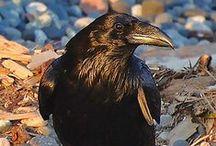 Kaw!! ... Ravens & Crows ... Kaw!! / by J.R.W.-M.