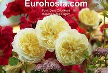 Roses / I love roses, espetially those full one and fragrant, romantic and old english roses.