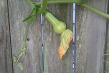 Harvest / Harvesting vegetables -How to and tips for perennials