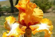 Irises I'm growing