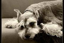 Miniature Schnauzer / http://IndagoDogPhotography.co.uk  Miniature Schnauzers are such fun little dogs with so much character!