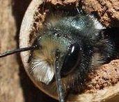 Včelky samotářky
