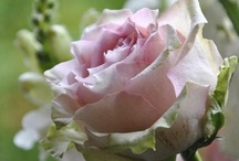 DELICATE ROSES  / by Nancy Wambach
