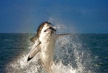 JAWS / by Nancy Wambach