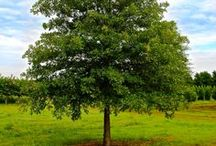 """Shade Trees  / Our shade trees range in sizes from 2"""" - 12"""" caliper. Visit our website for more information and to view all sizes, www.huntertrees.com"""