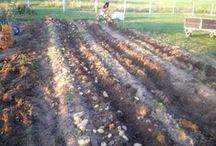Récolter pommes de terre avec motoculteur / C'est toujours un moment très attendu, pour sortir la première rangée de pommes de terre, afin de voir le résultat de la plantation.  En utilisant le motoculteur avec une arracheuse de pommes de terre, c'est beaucoup plus facile et rapide.