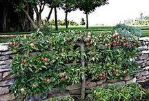 Un espalier ou palmette dans votre jardin / Sur cette page, je vais vous présenter quelques belles choses qu'on peut réaliser avec des arbres fruitiers. Des formes fruitières, qui sont devenues très tendances et qui ont toute leur place : dans le jardin design, jardin zen, jardin style cottage anglais, jardin style méditerranéen, jardin à la française, … Et pourquoi pas le vôtre.