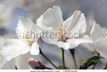 Cherry blossoms-white