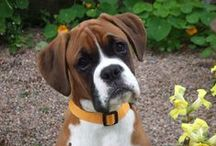 BOXER, the one and ONLY breed <3