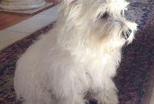 Westie - West highland white terrier