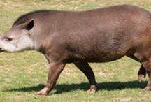 Animais Brasil / Animais brasileiros ou sulamericanos que tenham habitat no Brasil