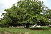 Árvores do Brasil / Árvores originais do Brasil e da América Latina e árvores trazidas de outros países que se adaltaram muito bem ao Brasil