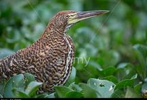 Aves brasileiras / Aves do Brasil ou que sejam da América do Sul e vivam no Brasil
