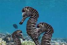 Animals - Seahorse