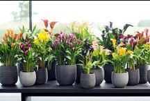&CALLA LILY / Inspiration for featuring the Calla Lily in your home!