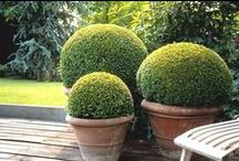 &BUXUS / Use Buxus plants in your garden!