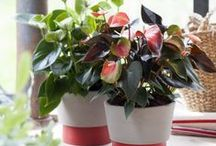 &ANTHURIUM / A colourful flowering plant for your home!