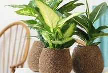 &DIEFFENBACHIA / This beautiful green plant is an ideal houseplant!