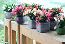 &CHRISTMAS CACTUS / The perfect houseplant for winter!