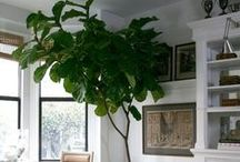 &FICUS / Ficus is a genus of about 850 species of woody trees, shrubs, vines, epiphytes and hemiepiphytes in the family Moraceae. Collectively known as fig trees or figs, they are native throughout the tropics with a few species extending into the semi-warm temperate zone.