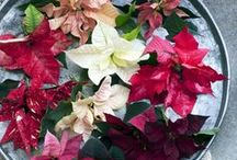 &POINSETTIA / The symbolism of the Poinsettia is related to the Christmas story. The star of Bethlehem showed the place where the baby Jesus was born and led the three wise men to him. The shape of the Poinsettia's bracts look like stars. Together with candlelight, the green Christmas tree and the red or white colours of this houseplant, the symbolic meaning of Christmas is complete.
