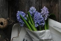 &HYACINTH / The scientific name of the Hyacinth is Hyacinthus. The name Hyacinthus comes from the Greek name 'Hyakinthos', a mythological figure. Hyakinthos was a handsome boy who was deeply loved by Apollo and was also accidently killed. Apollo made a 'Hyakinthos' flower grow out of his blood which was spreading along the ground. The Greek word was then translated into Latin and became Hyacinthus.