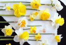 &NARCISSUS / Pot narcissi are a fabulous harbinger of spring which can give great pleasure if the plant is cared for properly.