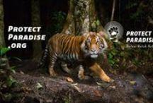 Tiger Manifesto / Greenpeace meluncurkan kampanye Tiger Manifesto pada Jumat 8 November 2013, untuk mengajak masyarakat merubah industri dan mendorong penghapusan jejak deforestasi dalam produk kesukaan kita. www.protectparadise.org