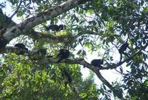 Monkeys at Geckoes Lodge / We love monkeys! Howler monkeys visit us regularly and hang out in the trees eating figs, having siestas and playing :)