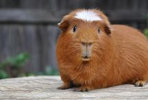 Cavies / Guinea pig care and 4h info