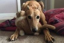 GALT Greyhounds in Forever Homes / Greyhounds after they  have been adopted from GALT in their forever homes.
