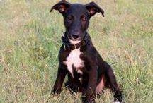 GALT Greyhound Puppies / Greyhound puppies under GALT's care