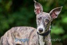 GALT Greyhound Adoption Announcements