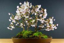 Bonsai Trees - Ancient Beauty