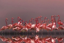 Flamingoes / In Florida they are everywhere. But they do not come from Florida. Mostly South America. Beautiful Birds. Makes me miss Florida all the more!  / by Janice Kissick