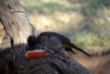 Sambane Birding / Bird sightings at Xombana