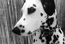 *DALMATIANS* / My world became complete with my Haidi&Fox <3 ...that's why I love Dalmatians PS: Haidi is white, Fox is black :-)